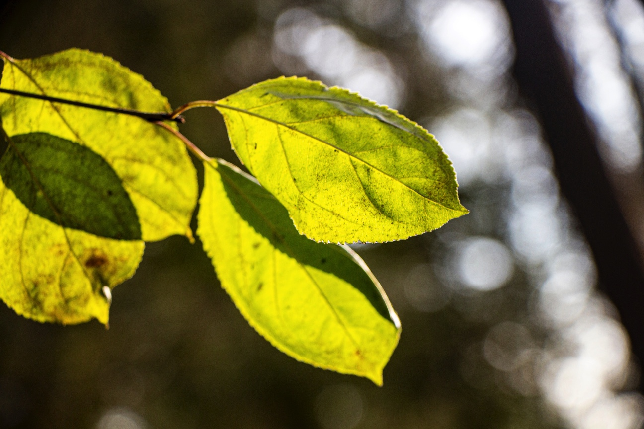 A close-up photograph of a plant with four leaves. Sunshine envelops the leaves, making them appear bright and golden-green.