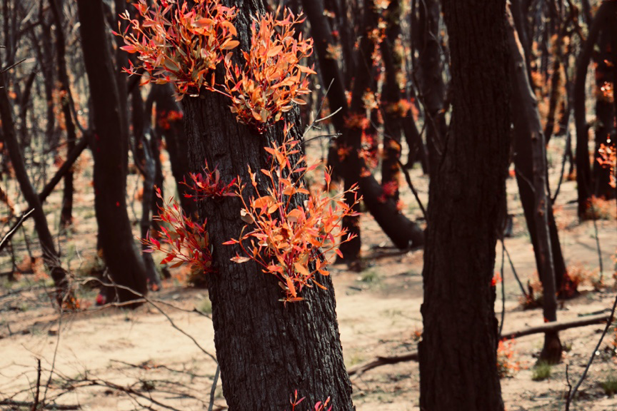 A photograph of a series of trees in a forest after a recent fire. Bright orange leaves are growing on the tree in the middle of the photo. The ground is a pale ash colour.