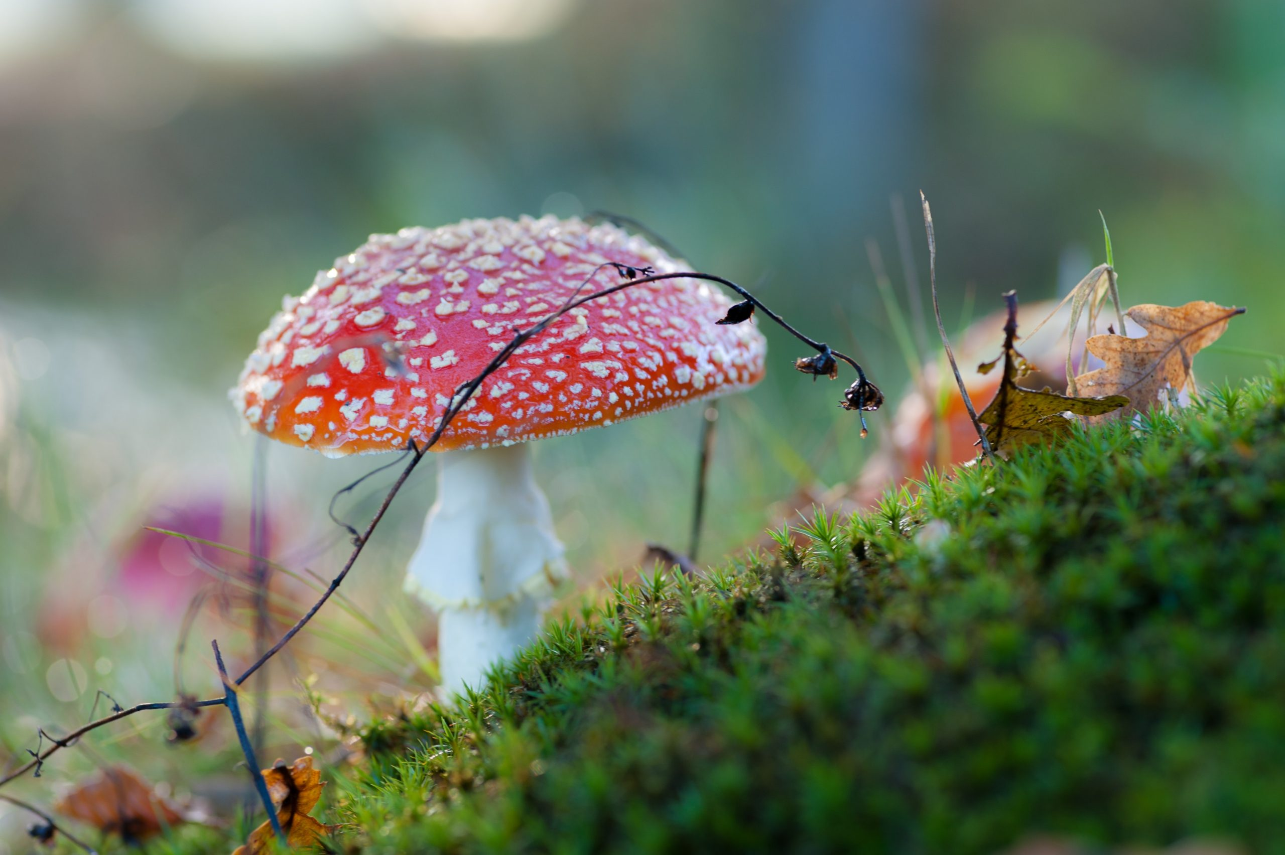 Red poison mushroom in the midground with soft focus moss in the foreground